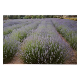 Fields of <i>Lavender</i> Angustifolia