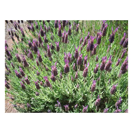 <i>Lavender</i> Stoechas Purple Crown