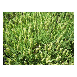 <i>Lavender</i> Stoechas Viridus