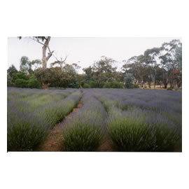 Fields of Flowering <i>Lavender</i> Angustifolia