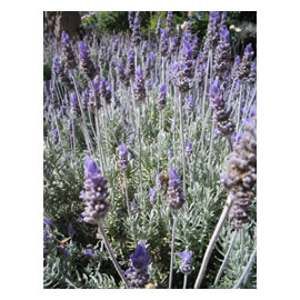 Grey foliage <i>Lavender</i> Dentata